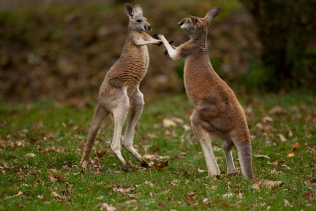 Boxing Kangaroos in the zoo © 2011 Scott Calleja